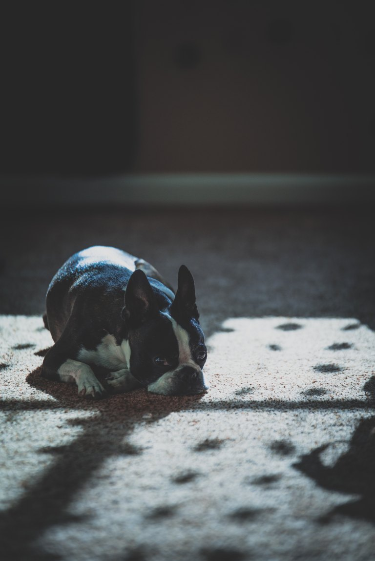 interiorbostonterrier